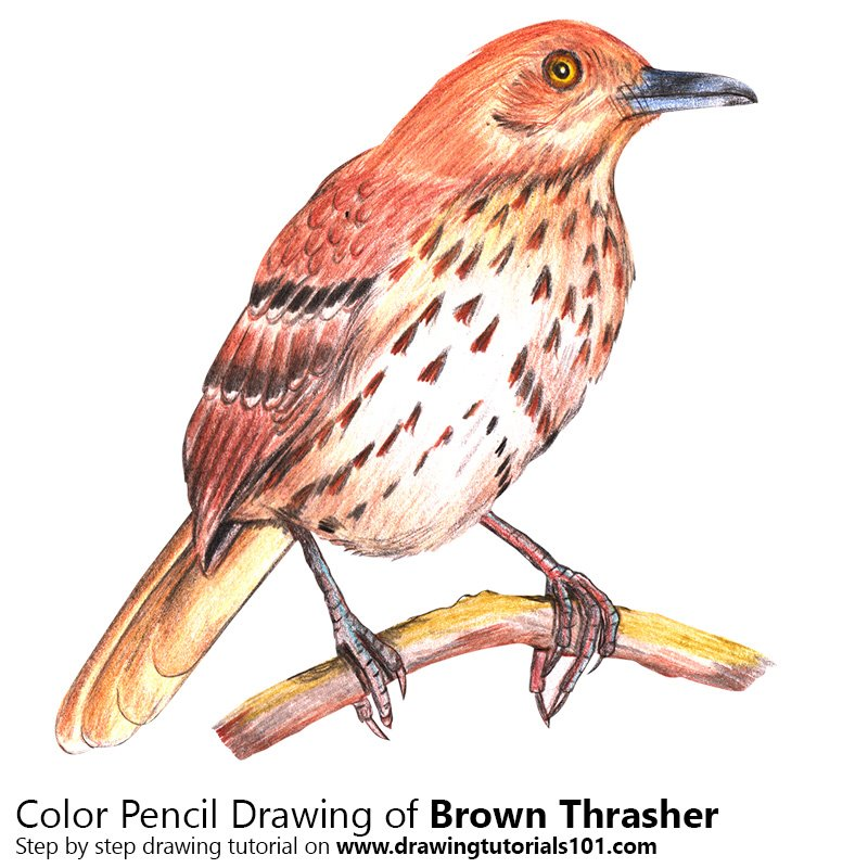 Brown Thrasher Color Pencil Drawing