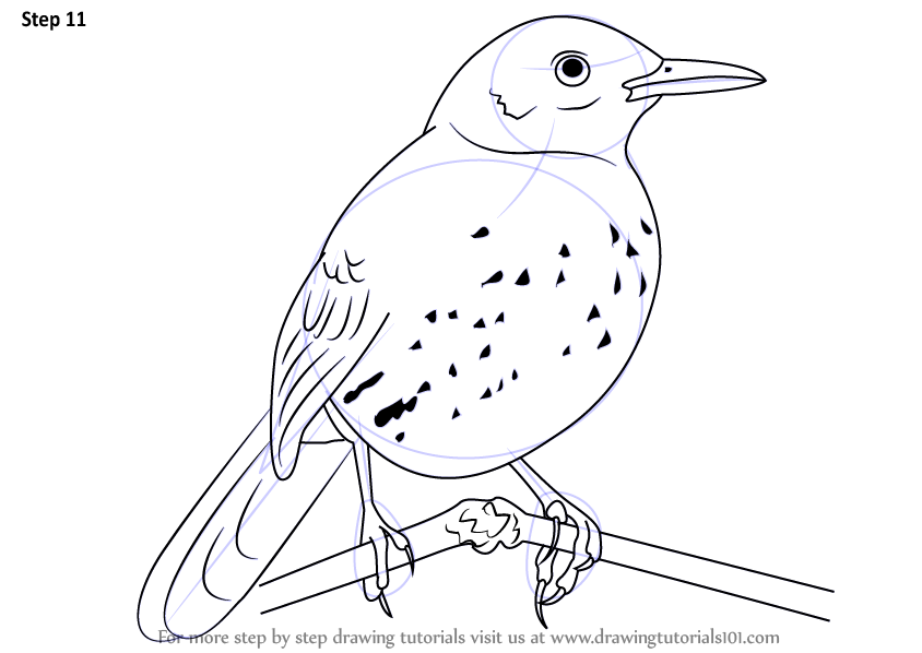 Learn How To Draw A Brown Thrasher Birds Step By Step