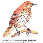 How to Draw a Brown Thrasher