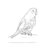 How to Draw a Budgie aka Budgerigar