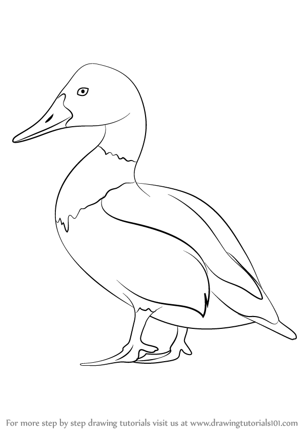 Line Drawings Animals Wildlife : Learn how to draw canvasback birds step by