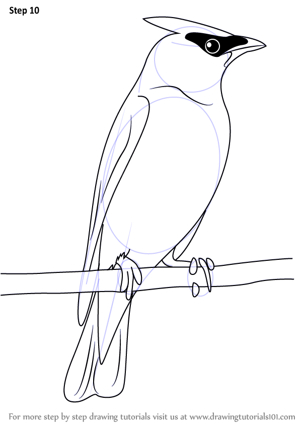 Learn How To Draw A Cedar Waxwing Birds Step By Step