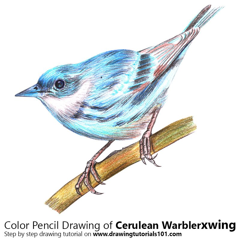 Cerulean Warbler Color Pencil Drawing