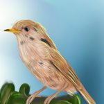 How to Draw a Cetti's warbler