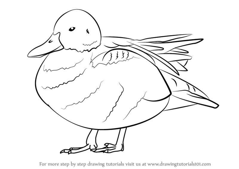 Learn How To Draw A Cinnamon Teal Birds Step By Step Drawing