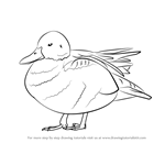 How to Draw a Cinnamon Teal