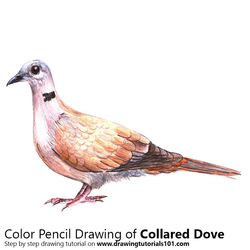 collared dove colored pencils drawing collared dove with