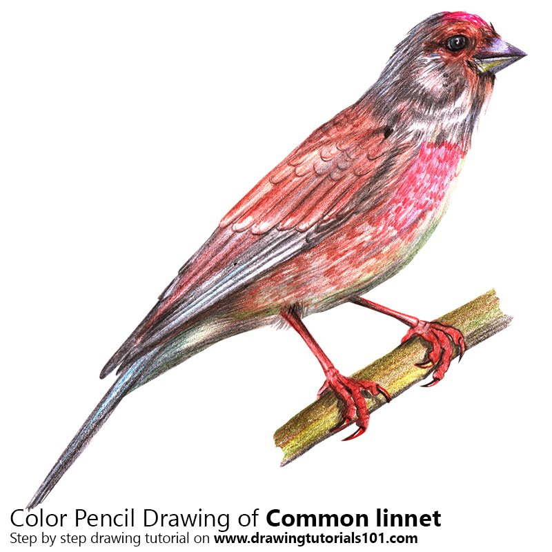 common linnet colored pencils drawing common linnet with. Black Bedroom Furniture Sets. Home Design Ideas
