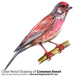 How to Draw a Common Linnet