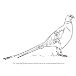 How to Draw a Common pheasant`