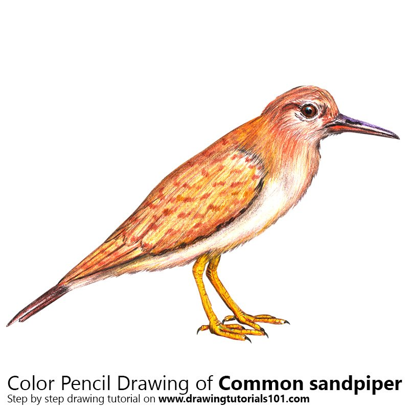 Common Sandpiper Color Pencil Drawing
