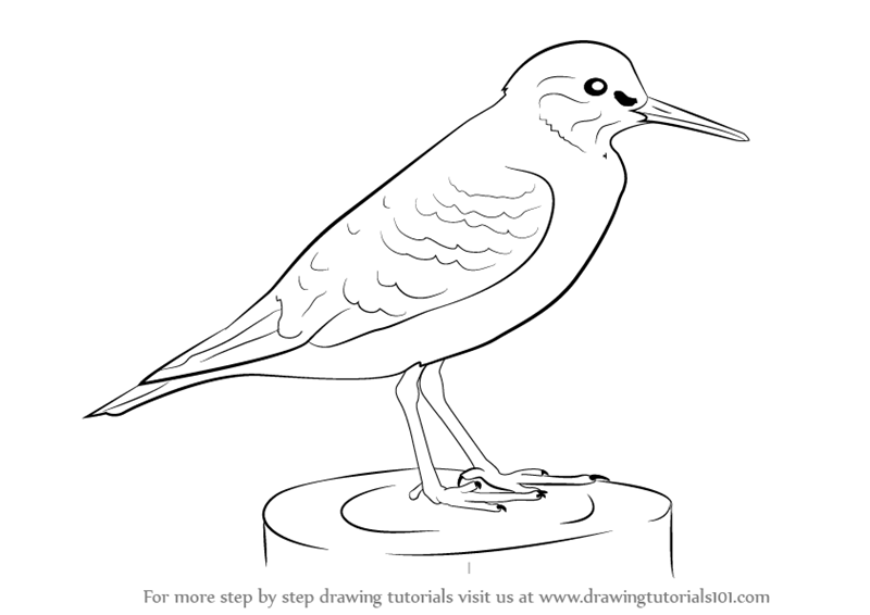 Line Drawing Of Animals And Birds : Learn how to draw a common sandpiper birds step by