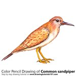 How to Draw a Common Sandpiper