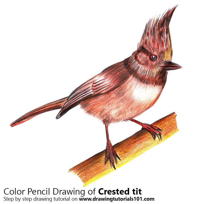 Crested tit Color Pencil Drawing