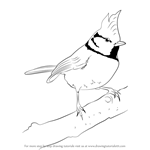 How to Draw a Crested tit