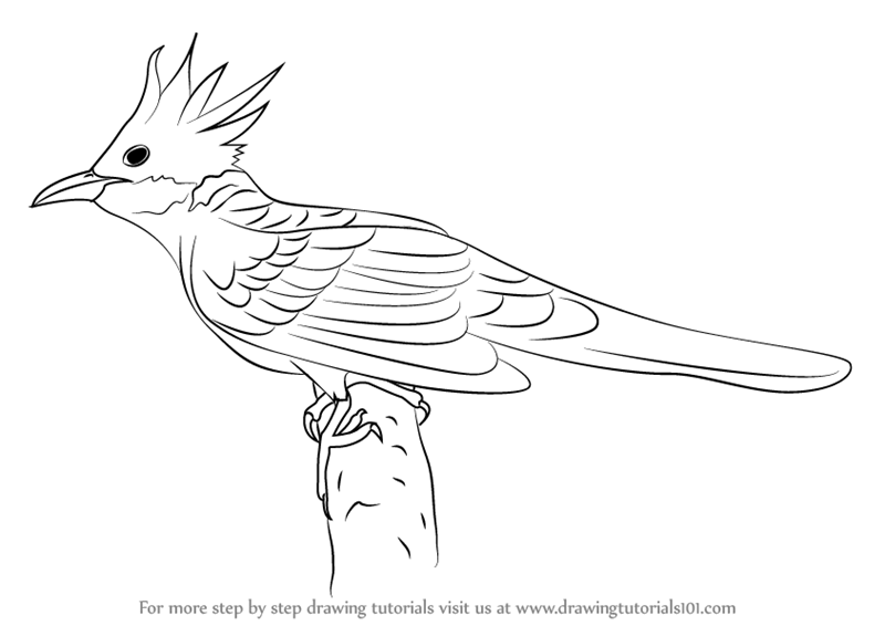 Learn How To Draw A Cuckoo Birds Step By Drawing Tutorials