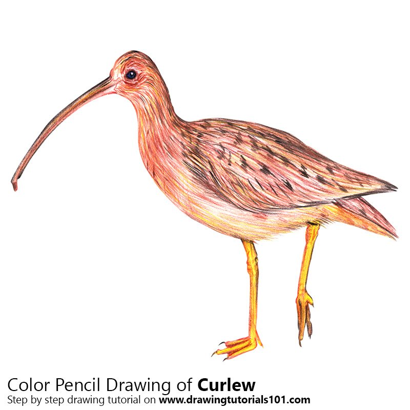 Curlew Color Pencil Drawing