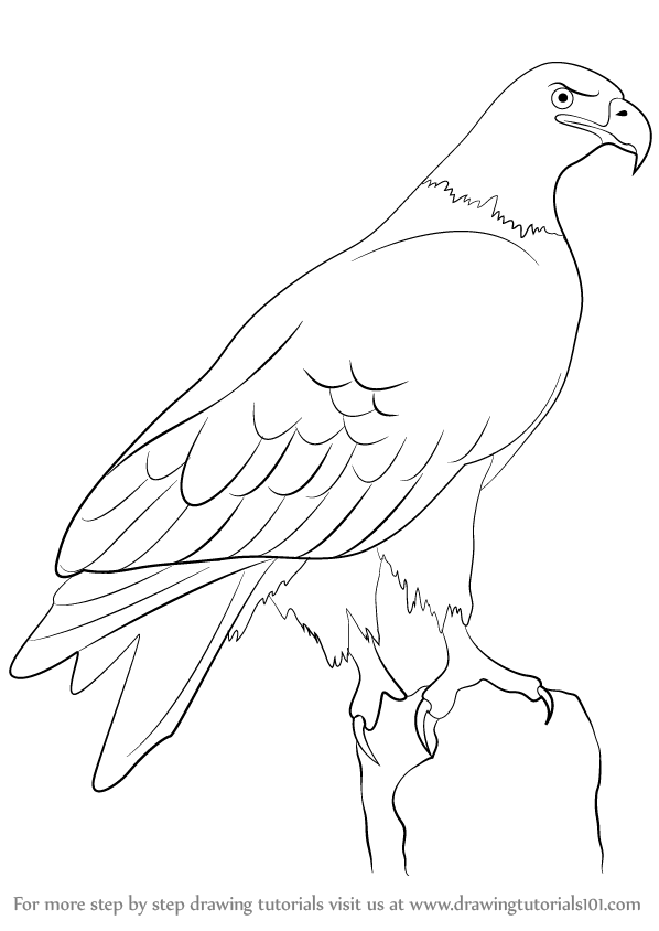 Learn how to draw a eagle birds step by step drawing tutorials