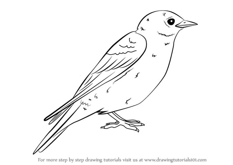 eastern bluebird drawing