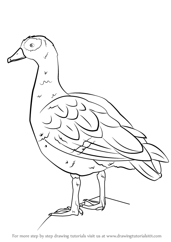 learn how to draw an egyptian goose birds step by step drawing tutorials
