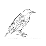 How to Draw a European Starling