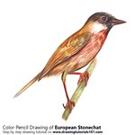 How to Draw a European Stonechat