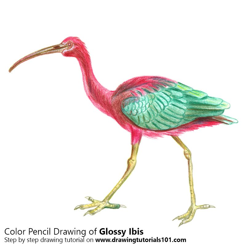Glossy Ibis Color Pencil Drawing