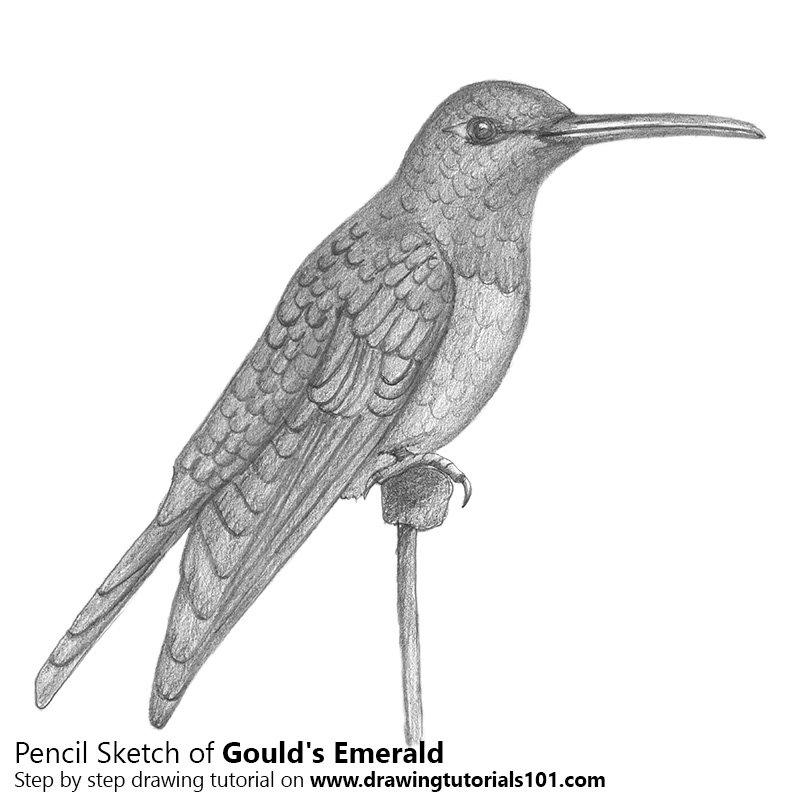 Pencil Sketch of Gould's Emerald - Pencil Drawing
