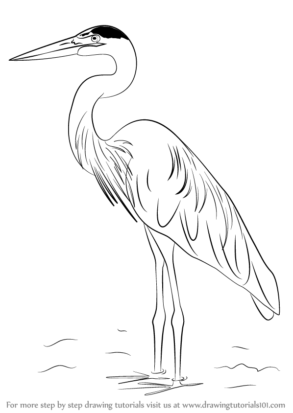 Learn How To Draw A Great Blue Heron Birds Step By Step