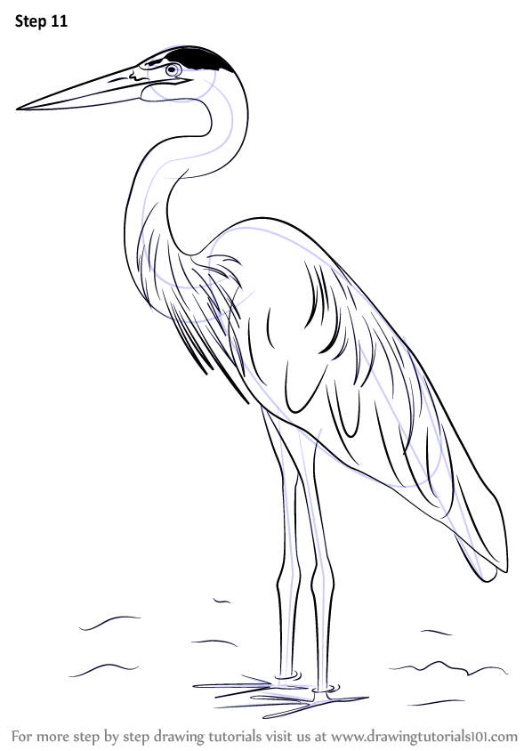 Line Drawing How To : Learn how to draw a great blue heron birds step by