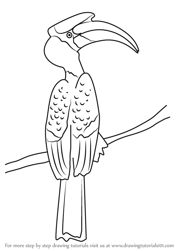 Learn How to Draw a Great Hornbill