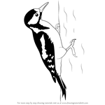 How to Draw a Great Spotted Woodpecker