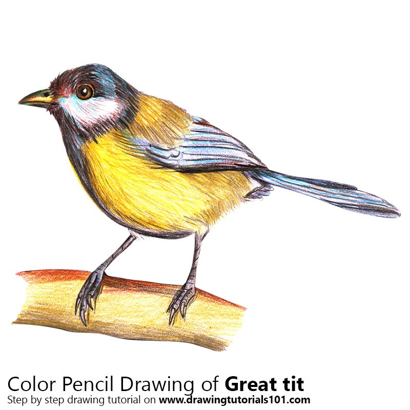 Great Tit Color Pencil Drawing