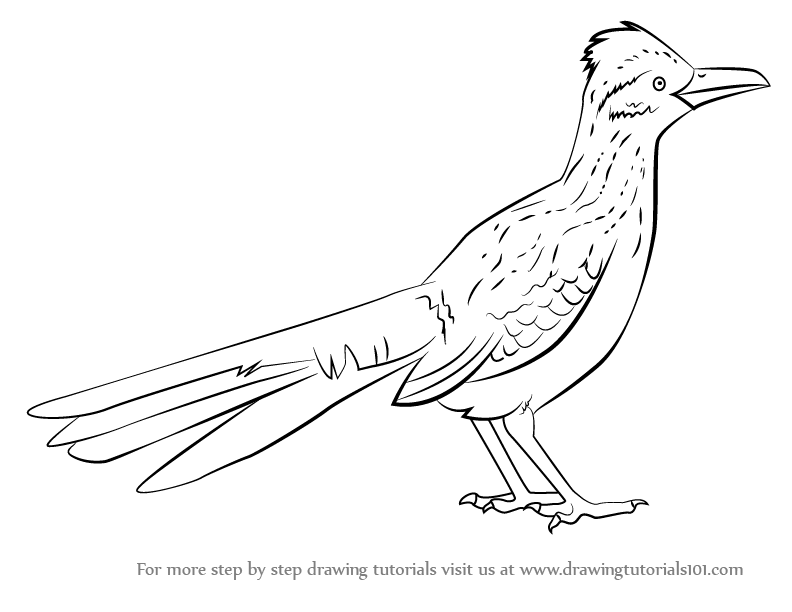 Learn How To Draw A Greater Roadrunner Birds Step By Step