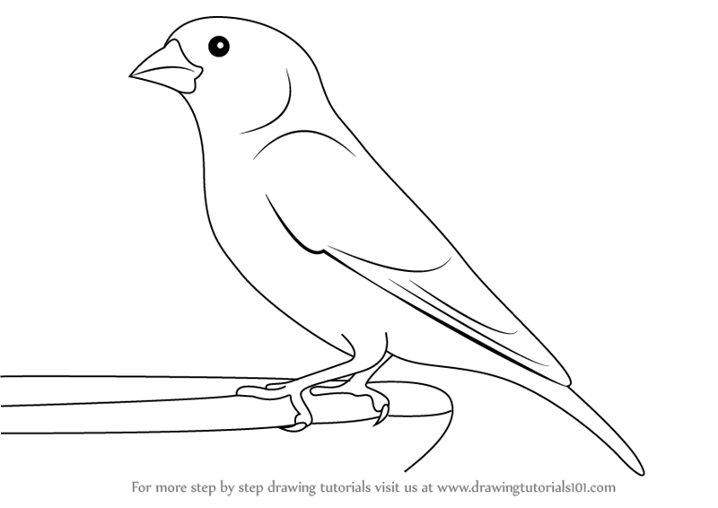 Learn How to Draw a Greenfinch (Birds) Step by Step ...