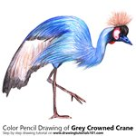 How to Draw a Grey Crowned Crane