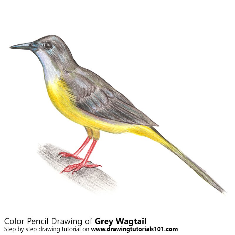 Grey wagtail Color Pencil Drawing