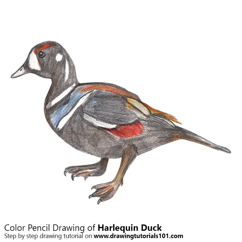 Harlequin Duck Color Pencil Drawing
