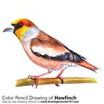 How to Draw a Hawfinch