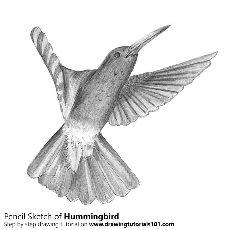 Pencil sketch of hummingbird pencil drawing