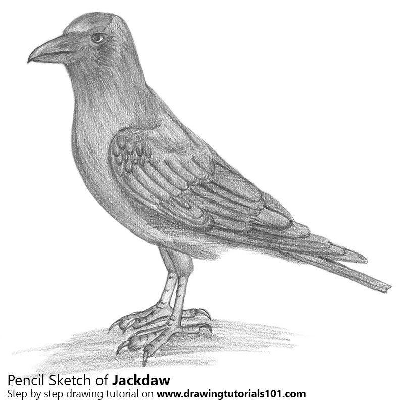 Pencil Sketch of Jackdaw - Pencil Drawing