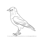How to Draw a Jackdaw