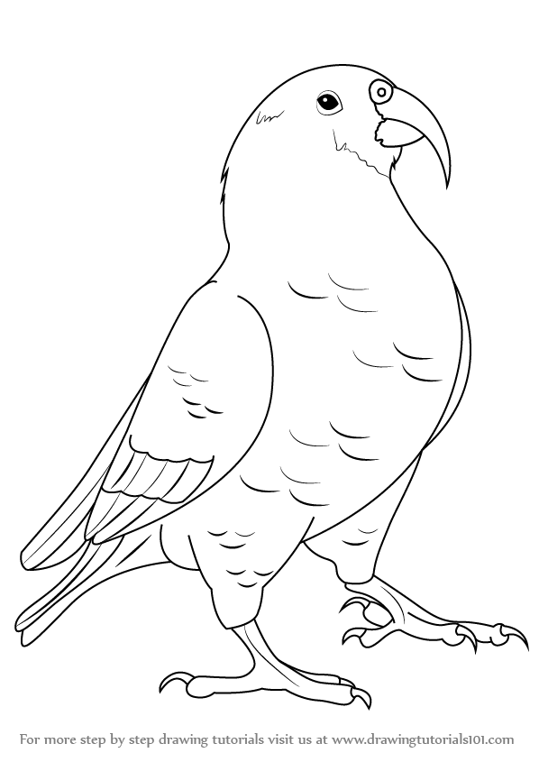 Learn How to Draw a Kea Birds Step by Step Drawing