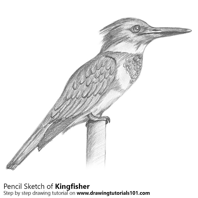 Kingfisher Pencil Drawing How To Sketch Kingfisher Using Pencils