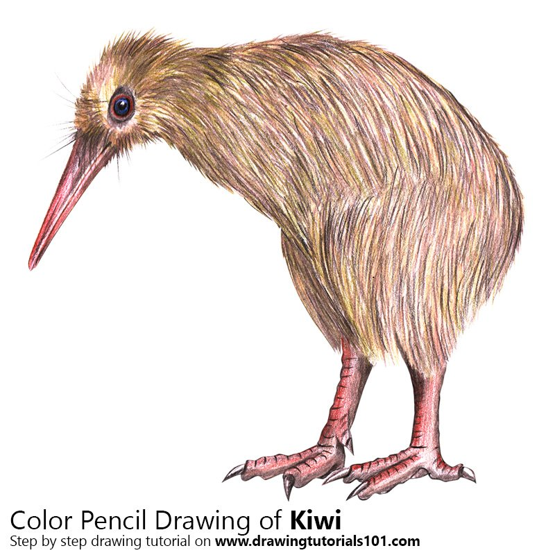 Kiwi Color Pencil Drawing