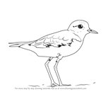 How to Draw a Lesser Sand Plover