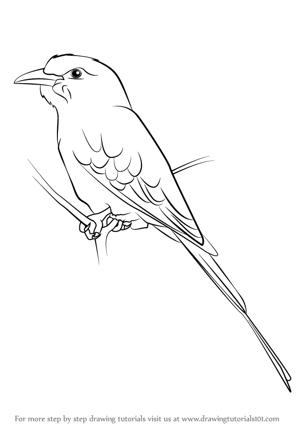 Learn How To Draw A Lilac Breasted Roller Birds Step By