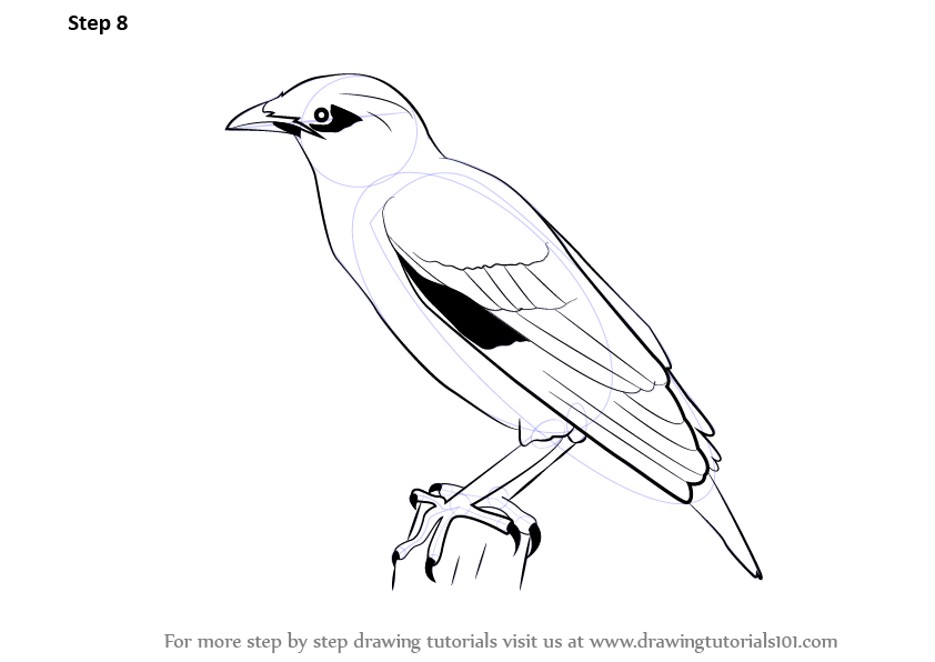 Learn How To Draw A Myna (Birds) Step By Step  Drawing Tutorials