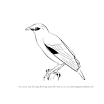How to Draw a Myna