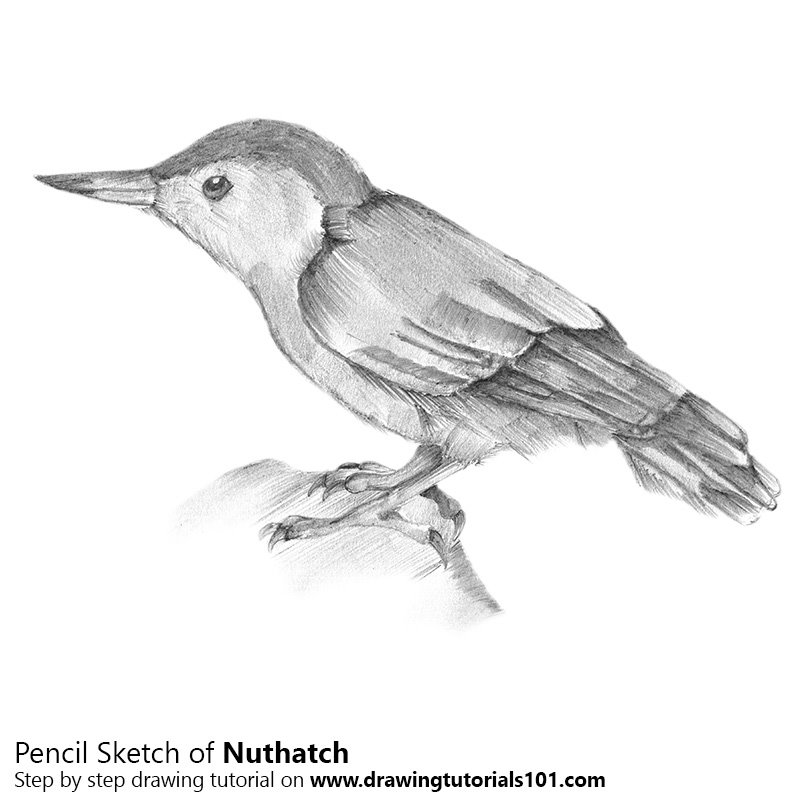 Pencil Sketch of Nuthatch - Pencil Drawing